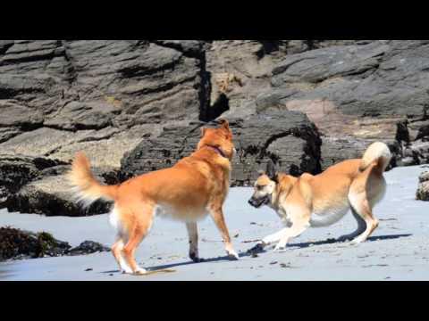 Beach dog Blue storms Carmel