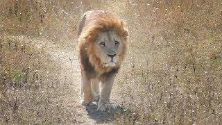 Малыш. Ветер перемен или тяжела шапка Мономаха. Львы. Тайган.  Lions in Taigan park.