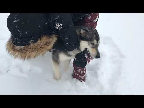Alaskan Malamute loves Central Pa. snow