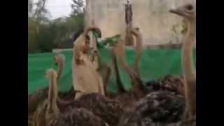Fazal Ostrich Farm Pakistan (Gujrat) 1