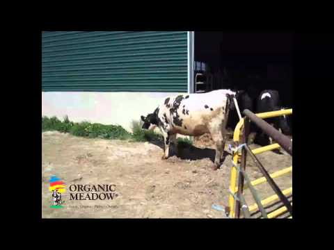 Heifers going out to pasture video - Minten Family