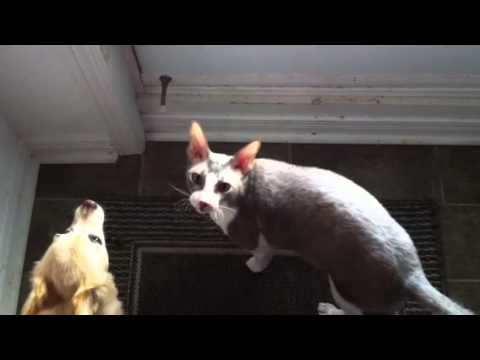 Cornish Rex Talks Back
