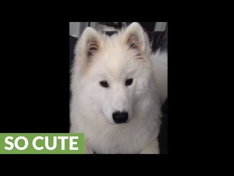 Samoyed puppy has cutest case of the hiccups