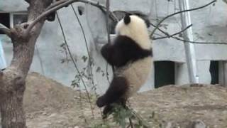 Baby Panda Bear falls out of Tree