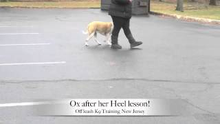 Pit Bull Heel Lesson Before And After