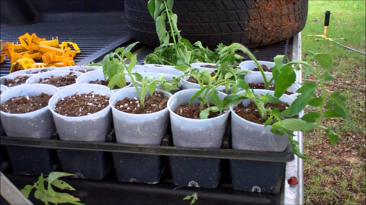 how to clone tomatoes for free fall tomato plants, Natural flower