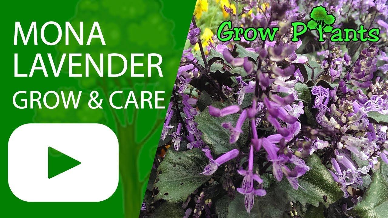 Mona Lavender Grow Care Plectranthus Youtube