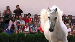 Ekstern, arabian stallion, at liberty, 2015