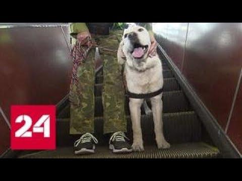 Тренировка в подземке: как обучают собак-проводников - Россия 24