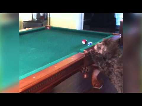 Doggie Pool Shark