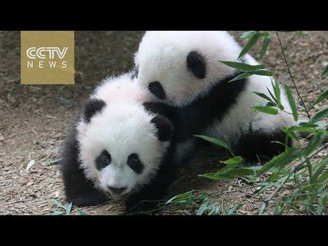 America's first giant panda twins prepare to say farewell to Atlanta