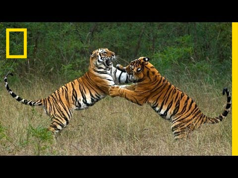 Steve Winter & Alan Rabinowitz: Tigers Forever | Nat Geo Live