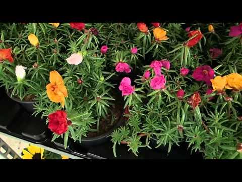 flower gardening tips how to grow moss rose portulaca grandiflora funnycat tv. Black Bedroom Furniture Sets. Home Design Ideas