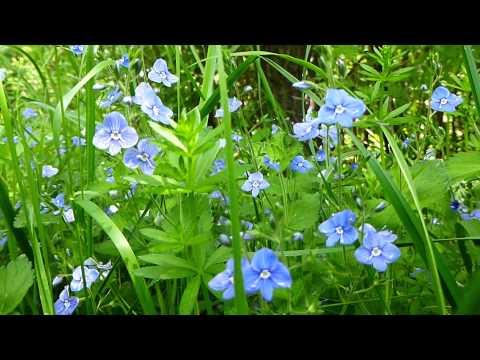 С праздником Весны , с 8 Марта!!Голубоглазые цветы , голоса птиц - для ВАС!!Музыкальная открытка.