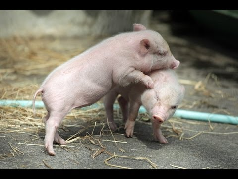 子豚のベイブ2!激可愛い!Babe of the little pig! So cute!