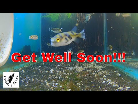 Treating Amazon Puffers...Meds And Methods