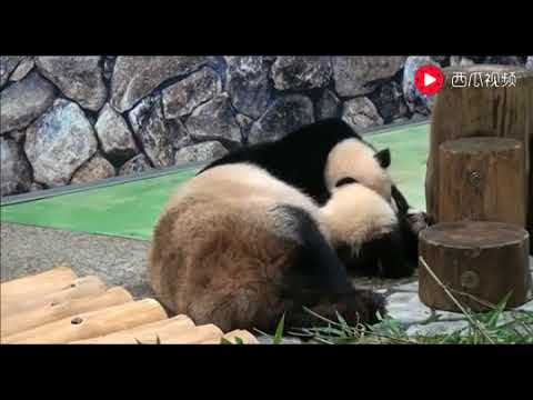 baby-pandas-🔴-cute-and-funny-baby-panda-videos-compilation-(2018.8.23)