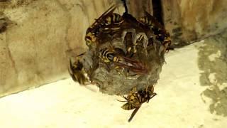 キアシナガバチとその巣