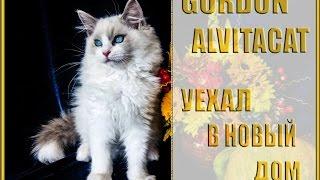 Котенок рэгдолл Gordon, питомник кошек Alvitacat - уехал в новый дом)