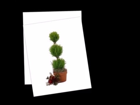 How to care for a Lemon Cypress Topiary Plant