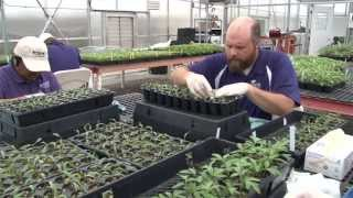 Tomato Grafting:  The Process