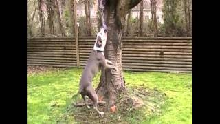 King Bowser American Pit Bull Terrier Spring Pole Exercise Fun!!!
