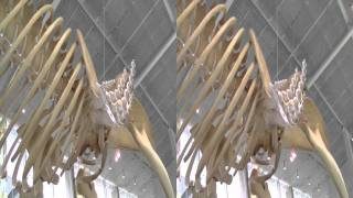 [3D] Blue whale skeleton at UBC