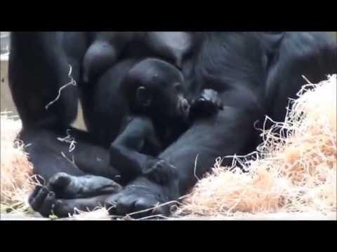 Zoo Stuttgart - Wilhelma: Gorillas