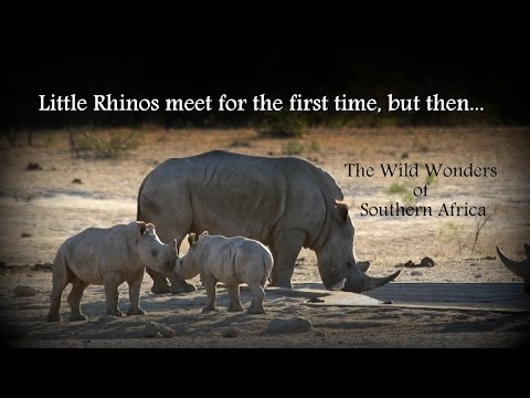 Little Rhinos meet for the first time, but then...