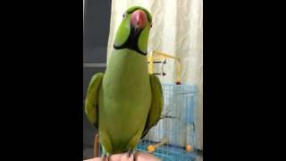 鸚鵡愛說話 Talking parrot