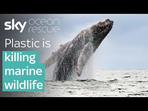 Plastic is killing marine wildlife   #OceanRescue