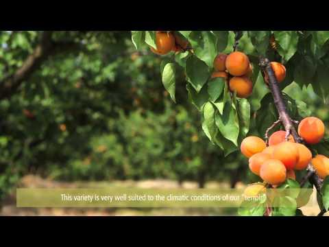 Au coeur des vergers d'abricots / Inside apricots' orchards