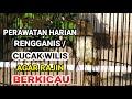 Tips Perawatan Harian Cucak Wilis Rengganis Agar Rajin Gacor  Mp3 - Mp4 Download