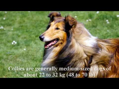 Collie Dog Breed History