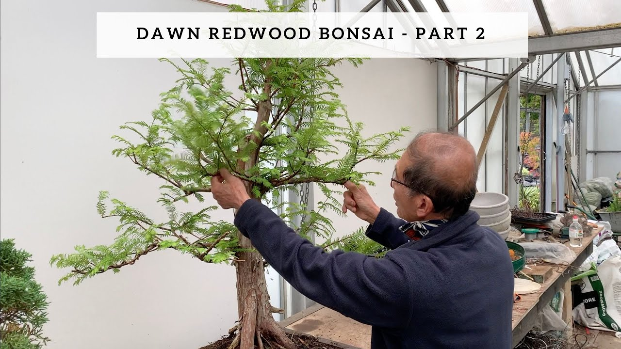 Creating Dawn Redwood Bonsai Part 2 Youtube