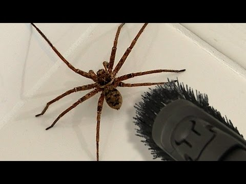 Big Spider Bathroom Daddy Screamer Arachnophobia Warning