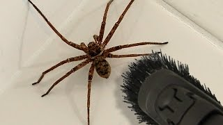 Worlds largest spider eats eagle hd video video by choice