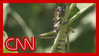 Locust swarms threaten the food supply of millions