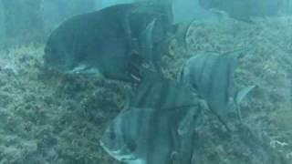 Sand Tiger Sharks Cement Barge Stuart Florida