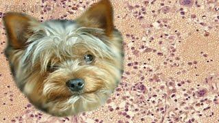 Гранулема у собак   Симптомы   Причины   Лечение.