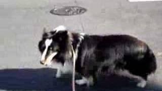 shetland sheepdog sheltie シェットランドシープドッグ(シェルティー...
