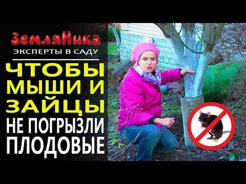 Защита деревьев от грызунов зимой. Защита плодовых деревьев от мышей. Защита яблонь от зайцев.