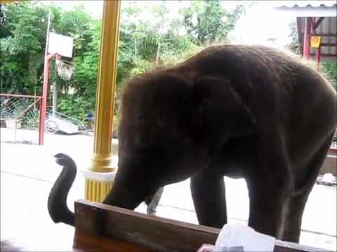 Elephant Baby Dance, Plays Music and Basketball in Thailand
