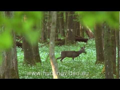 Roe Buck And Predator Hunting In Hungary (HD)