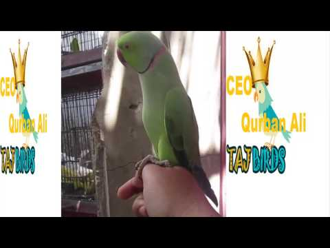 Very Fast Talking Green Ring-neck Parrot | amazing talking parrot | green  parrot talking