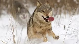 Охота на волка Волк напал на собаку