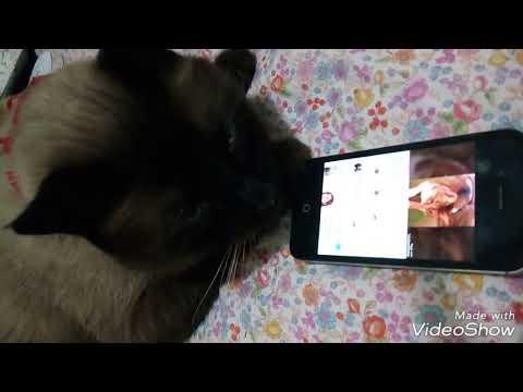 Cute Siamese Cat Watching  Cats Video