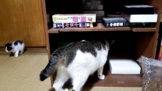 ご飯を食べた後のクロちゃんはバーサク状態です。 ブログ http://audion...