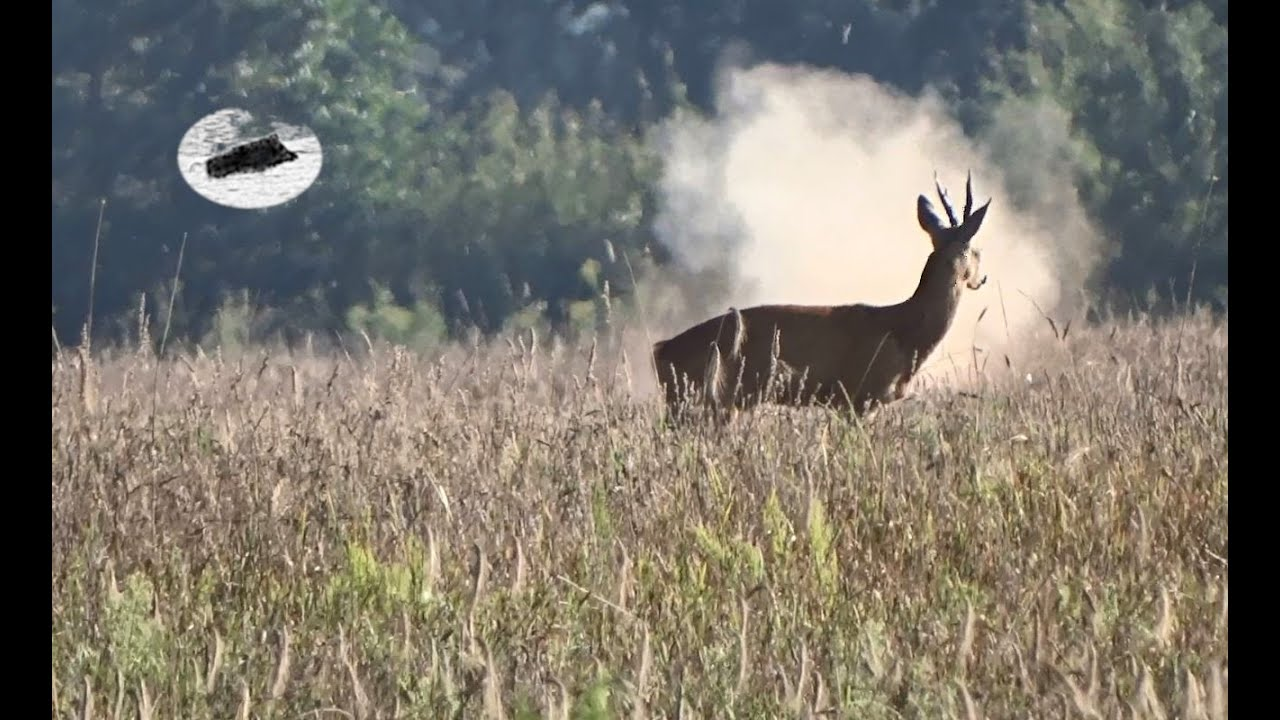 Hunting roebucks in July 2020 #3