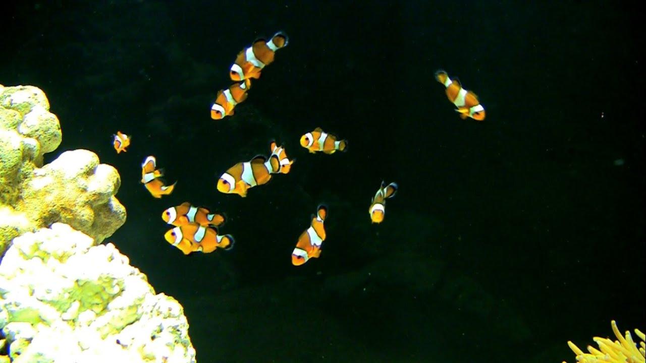 Ikan badut sensitive terhadap cahaya buatan (gambar dari: https://www.youtube.com/watch?v=zhyEeY8MIZ4)